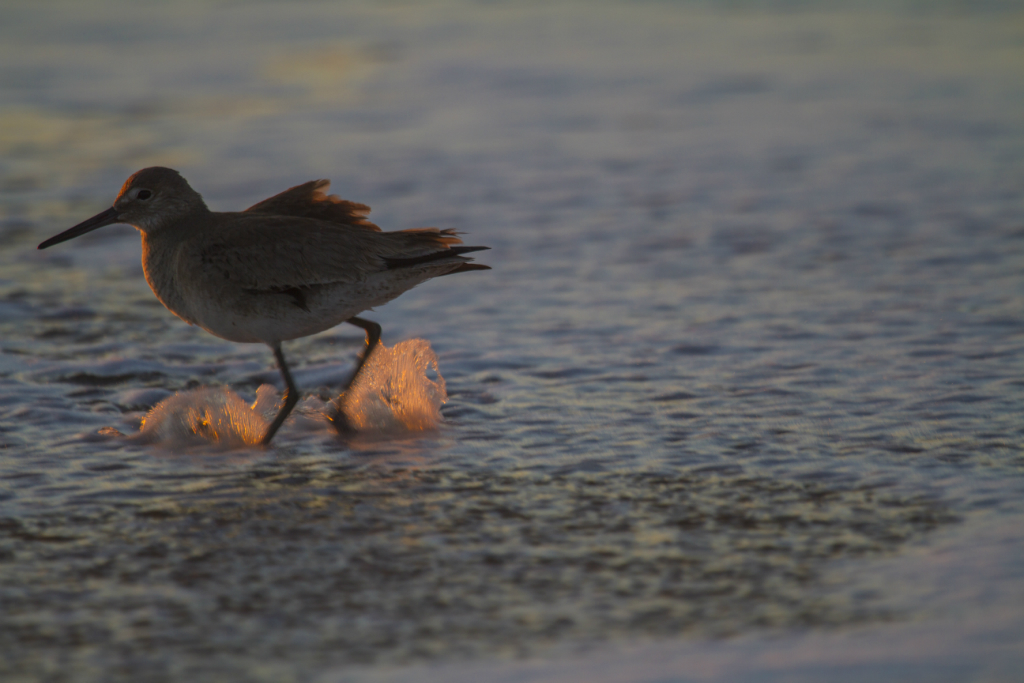 red knot.  hollywood beach, CA