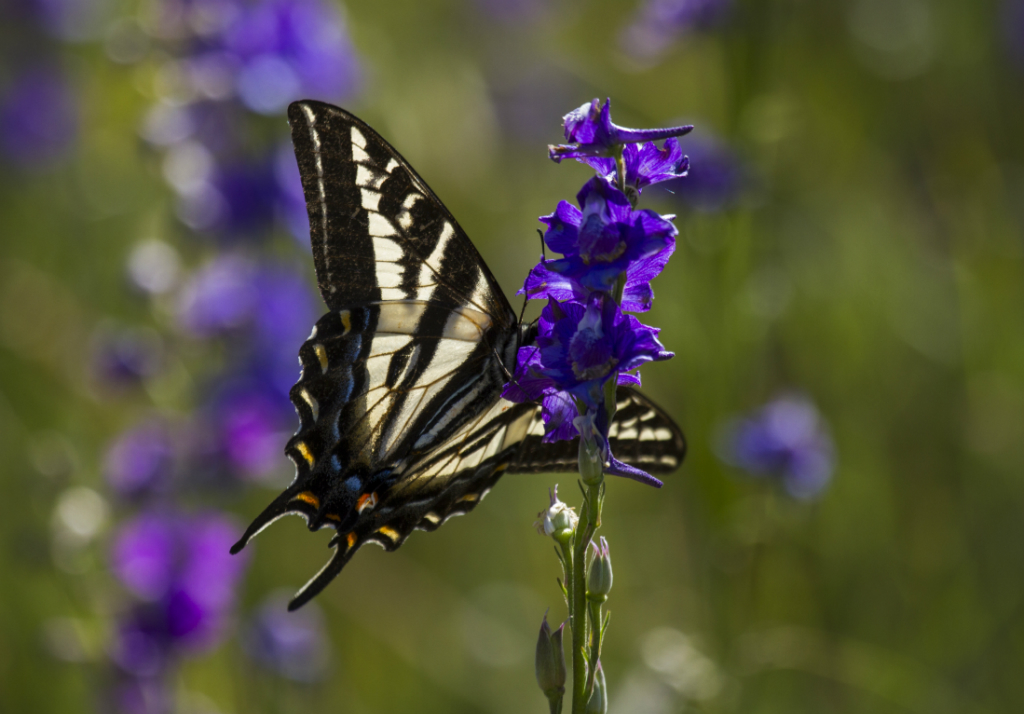 swallowtail butterfly, hopland, CA